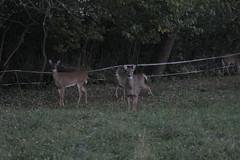 _MG_1988 (thinktank8326) Tags: deer whitetaileddeer fawn doe babyanimal babydeer
