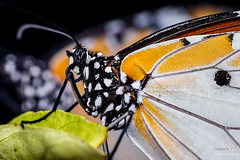 20161023 TEP Butterfly Plain Tiger (Danaus chrysippus chrysippus form alcippoides) 9673 (The Bonding Tool) Tags: samanthahan thebondingtoolblog macrophotography macro macroinsingapore butterfly butterflyplaintigerdanauschrysippuschrysippusformalcippoides butterflyplaintiger danauschrysippuschrysippus butterfliesinsingapore insectphotography insect naturephotography nature animal animalphotography