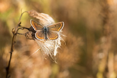 Enlightened (regisfiacre) Tags: aricia agestis argus brun collier corail papillon schmetterling butterfly insect insecte bugs macro canon 100mm nature prairie meadow soleil bokeh