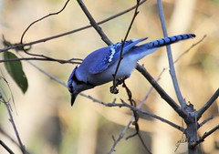 """Blue Jay"" ""Cyanocitta cristata"" (jackhawk9) Tags: nature birds canon newjersey wildlife ngc bluejay southjersey cyanocittacristata backyardbirding jackhawk9"