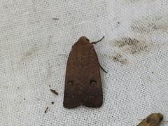 Proteuxoa hypochalchis (dhobern) Tags: december australia lepidoptera noctuidae amphipyrinae oconnor act 2014 proteuxoa hypochalchis