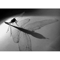 Fairy dragon fly (pradeep javedar) Tags: light shadow abstract monochrome silhouette square wings dragonfly flight squareformat flimsy bnw yabbadabbadoo iphoneography instagramapp uploaded:by=instagram