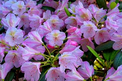 Ashe (50v) Tags: pink flowers finland helsinki blossoms rhododendron viikki
