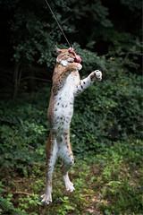 Get it (Cloudtail the Snow Leopard) Tags: wildpark pforzheim tier animal mammal säugetier katze cat feline luchs lynx nordluchs europäischer eurasischer sprung jump springen nordluchseuropäischer cloudtailthesnowleopard