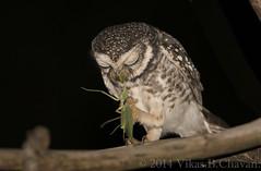 Spotted Owlet - Engrossed in its meal. (Vikas.B.Chavan) Tags: nikon d7100 nikkorafs300mmf4 ngc npc naturethroughthelens coth5