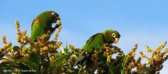 endemic, Santa Marta Parakeet , Pyrrhura viridicata an amazing view during our birding tour (OSWALDO CORTES -Bogota Birding and Birdwatching Co) Tags: fauna colombia endemic sib biodiversidad santamartaparakeet pyrrhuraviridicataanamazingviewduringourbirdingtour
