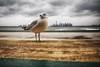 Born in the U.S.A. (dubdream) Tags: ocean newyorkcity sea sky usa cloud newyork seascape water ferry america ship manhattan seagull atlantic statenislandferry cloudysky animalportrait colorimage dubdream olympusem1