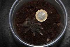 "Theraphosa stirmi 2nd molt • <a style=""font-size:0.8em;"" href=""http://www.flickr.com/photos/77637771@N06/15990406474/"" target=""_blank"">View on Flickr</a>"