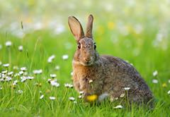 European Rabbit (Alan MacKenzie) Tags: rabbit daisies mammal sussex spring wildlife meadow southdowns europeanrabbit oryctolaguscuniculus