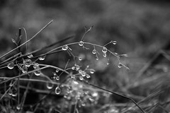 (Doodles N' Dabbles) Tags: blackandwhite plants white black nature water grass outdoors droplets dew
