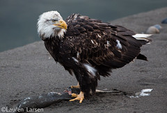 Bald Eagle (lauren_larsenn) Tags: wild fish bird nature animals america river washington fishing adult pacific northwest eagle hunting bald raptor valley skagit eagles birdofprey