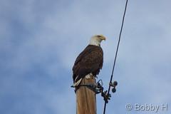 December 21, 2014 - A bald eagle keeps watch. (Bobby H)