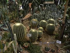 Cacti in the greenhouse of Bucharest Botanical Garden (cod_gabriel) Tags: cactus cacti greenhouse romania jardimbotânico botanicalgarden bucharest hortusbotanicus cactos bucuresti rumania romenia sera 仙人掌 romênia bukarest roumanie kaktus jardínbotánico 植物園 kakteen ortobotanico boekarest bucarest roménia botanischergarten サボテン echinocactusgrusonii ルーマニア romanya rumänien roemenië rumænien ботаническийсад rumanía catos românia kaktüs gradinabotanica bucureşti רומניה bucharestbotanicalgarden 선인장 rumunia ogródbotaniczny 식물원 románia botaniskträdgård کاکتوس botanikbahçesi กระบองเพชร румыния bucareste صبار 羅馬尼亞 رومانيا 루마니아 ρουμανία rumunjska ботаническаградина κάκτοσ кактусовые रोमानिया رومانی ประเทศโรมาเนีย kaktüsgiller βοτανικόσκήποσ grădinăbotanică kaktuszfélék حديقةنباتية dbrândză grădinabotanicădbrândză seră kebunbotani باغگیاه‌شناسی