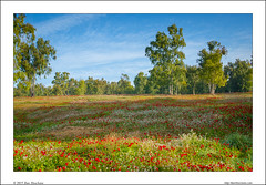 Dreamland (Ilan Shacham) Tags: flowers trees red white forest landscape carpet israel view fineart scenic negev clearing fineartphotography beeri shokeda