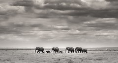 Ol Tukai Elephants 3, Amboseli (Poulomee Basu) Tags: africa wild portrait blackandwhite elephant clouds nationalpark nikon dramatic peaceful calm safari serene wilderness habitat majestic homage herd perfection ecosystem herbivore biodiversity amboseli eastafrica africansafari dramaticskies blackandwhiteportrait picturepostcard oltukai wildafrica elephantherd nikond90 elephantconservation eastafricanlandscape eastafricanwildlife savannahscenes nikond90users amboselifauna eastafricanscenes