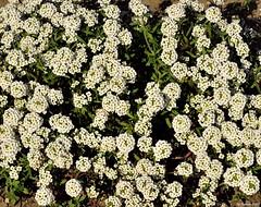sweet alyssum (Pristine Illusion) Tags: california sanfranciscobayarea brassicaceae haywardca sweetalyssum sanfranciscobaytrail lobularia haywardregionalshoreline lobulariamaritima sweetalison alamedaco ebparksok lmaritima kiron105mmf28macromanualfocus
