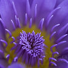 Water lily abstract, ii (_aires_) Tags: iris abstract canon waterlily bokeh miami aires 100mm 5d miamiflorida ires canonef100mmf28macrousm imagesforthelittleprince canoneos5dmarkiii fleursetpaysages palmhammockorchidestate