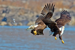American Bald Eagles Battle (Brian E Kushner) Tags: fish bird birds animals flying inflight wings fishing md king eagle dam wildlife flight baldeagle beak feathers bald maryland battle 300mm talon darlington fighting f4 haliaeetusleucocephalus birdwatcher americanbaldeagle conowingo nikor conowingodam tc17eii tc17 d4s bkushner nikon300mmf40dedifafsnikkorlens nikond4s brianekushner