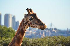 Giraffe In The City (Jgunns91) Tags: life city travel travelling animal animals architecture buildings project zoo travels nikon wildlife sydney australia backdrop giraffe 365 aussie
