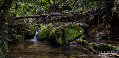 Coachwood Glen || Megalong || NSW (Ged Delany) Tags: blue mountains landscape stream glen valley megalong coachwood