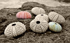 Marine Life. Sea Urchins number 2 (corinnerutherford) Tags: ocean marine seaurchins selectivecolour