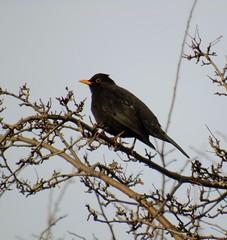 (jessicaclairem) Tags: nature garden wildlife sony blackbird dsch400