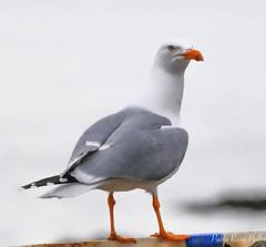 Gaviota (pablorpts) Tags: sea bird canon mar ave 70200 gaviota 6d cambados