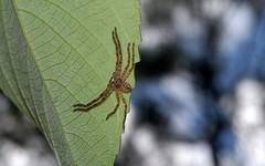 Sparassidae (dustaway) Tags: arachnida araneae sparassidae holconiainsignis huntsman australianspiders lismore northernrivers nsw nature australia araneomorphae spinne natur araignee