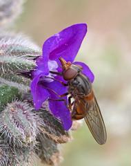 Rhingia campestris (3) (saracenovero) Tags: flies syrphidae diptera 2014 rhingiacampestris mazeikiai fliesoflithuania