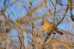Panasonic FZ1000, Cardinal, Botanical Gardens,  Montral, 28 February 2015 (29) (proacguy1) Tags: montral cardinal botanicalgardens panasonicfz1000 28february2015