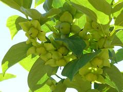 Diospyros kaki (pelayobotanica - www.estepasyhayedos.es) Tags: spain plantas otras caqui aragn diospyros diospyroskaki floraibrica ebenceas fanerfito
