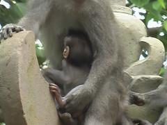Nursing Monkey