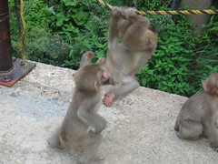Young Monkeys Playing