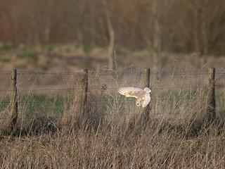 Barn Owl dive