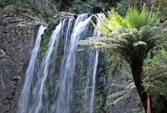 Cape Otway N P Hopetoun Falls (zorro1945) Tags: fern water waterfall oz australia victoria greenery cataract capeotway hopetounfalls capeotwaynationalpark drippingferns