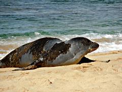 Hawaiian monk seal (kenjet) Tags: ocean beach water female mammal hawaii sand surf waves pacific wave pacificocean seal kauai monkseal hawaiianmonkseal poipubeachpark ʻilioholoikauaua poʻipū poipi dogthatrunsinroughwater poʻipūbeachpark