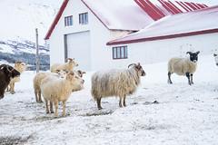 DSC01479 (ekremenak) Tags: photo iceland sheep 1502 150212