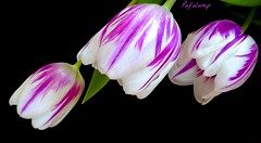 Three Times A Lady (Pufalump) Tags: pink flowers white black flower macro green nature yellow three petals spring stem purple tulips display stripes sony feather tulip rembrandt array bowing feathered