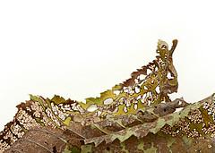 Nature's Lace (1) (PhotosbyDi) Tags: abstract lace elmleaf nikond600 macromondays elmbeetle tamronf2890mmmacrolens abstractinmacro