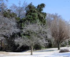 Trees of Glass (Lisa Zins) Tags: trees winter ice weather tn tennessee octavia 2015 mtjuliettn tennesseeicestorm lisazins