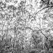 Angophora Woods