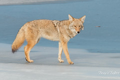 Female coyote strolls on the ice