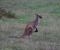 Big Roo (mikecogh) Tags: ears kangaroo upright alert roo adelaidehills hopeforest