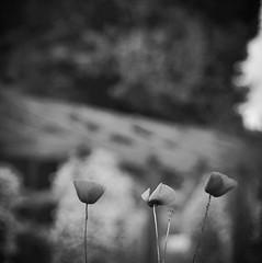 (robra shotography []O]) Tags: bn poppies biancoenero square bw dof papaveri afmicro60mmf28d nikon bokeh blackandwhite