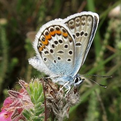 Silver-studded Blue - Plebejus argus (Camerar) Tags: butterflies butterfly insect uk hampshire lycaenidae silverstuddedblue plebejusargus