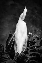 Wading Egret - 0493 (RG Rutkay) Tags: blaunaturaresort caribbean dominicarepublic puntacana tropical greategret white black bird wading bw artistic pictorial