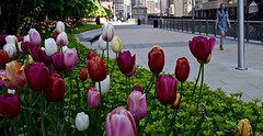 Riverwalk in the Spring - Chicago IL (Meridith112) Tags: river riverwalk chicago chicagoriver cookcounty il illinois midwest tulip tulipa tulips pinktulip redtulips colors color flower flowers city nikon nikon2485 nikond610 may 2016 spring riversideplaza