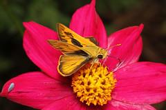 Polites vibex (Whirlabout) - Costa Rica (Nick Dean1) Tags: politesvibex whirlabout skipper hespiridae butterfly arthropoda arthropod animalia hexapoda hexapod insect insecta costarica lakearenal