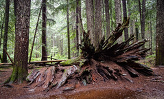 Fallen (ebhenders) Tags: ross creek cedars northwest montana grove trees wet forest fallen roots