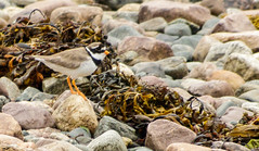 Ringed Plover (Mac ind g) Tags: charadriushiaticula summer ringedplover scotland bird aultbea walking westerross holiday shore